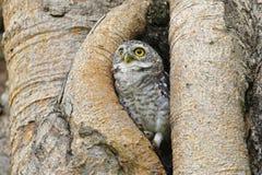 Pájaros manchados del brama del Athene del mochuelo en hueco del árbol imagen de archivo
