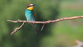 Pájaros maravillosos de la buena canción almacen de video