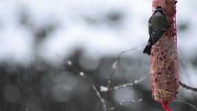 Pájaros minúsculos del tit azul en su lugar de la alimentación de invierno almacen de video