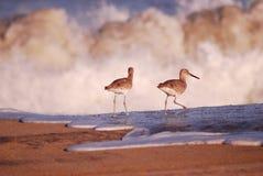 Pájaros minúsculos que recorren en el agua blanca Imagen de archivo libre de regalías