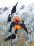 Pájaros nativos de Nueva Zelanda Tui en birdfeeder fotografía de archivo libre de regalías