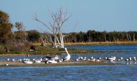 Pájaros nativos que recolectan, Australia occidental Fotografía de archivo