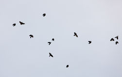 Pájaros negros Fotos de archivo libres de regalías
