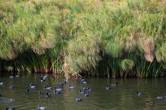 Pájaros negros comunes en agua Imagenes de archivo
