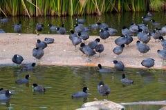 Pájaros negros comunes en agua Fotografía de archivo