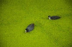 Pájaros negros con la natación blanca del pico en el agua del canal cubierta por las pequeñas plantas acuáticas verdosas en el Go Fotos de archivo