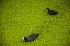 Pájaros negros con la natación blanca del pico en el agua del canal cubierta por las pequeñas plantas acuáticas verdosas en el Go Fotos de archivo libres de regalías