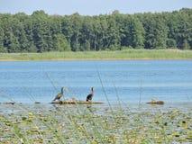 Pájaros negros del cormorán en rama de árbol en el lago, Lituania Foto de archivo libre de regalías