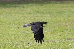 Pájaros negros del cuervo que vuelan sobre campo de hierba verde Fotografía de archivo libre de regalías