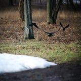 Pájaros negros en el bosque Fotografía de archivo libre de regalías