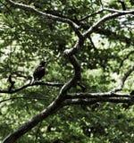 Pájaros negros en el lago y Iris Gardens swan Fotos de archivo libres de regalías