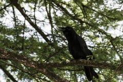 Pájaros negros en el lago y Iris Gardens swan Foto de archivo