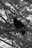 Pájaros negros en el lago y Iris Gardens swan Fotos de archivo