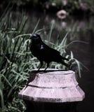 Pájaros negros en el lago y Iris Gardens swan Fotografía de archivo