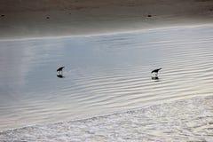 Pájaros negros en línea de la playa de la playa Imagen de archivo