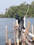 Pájaros negros en la laguna tropical de Sri Lanka Fotos de archivo