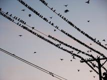 Pájaros negros en los alambres eléctricos Fotografía de archivo