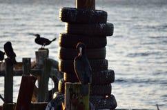 Pájaros negros grandes del cormorán Foto de archivo libre de regalías