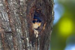 Pájaros negros-thighed del fringillarius de Falconet Microhierax en hueco del árbol Foto de archivo