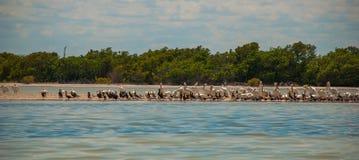 Pájaros negros y pelícano blanco por el río Rio Lagartos, México yucatan Fotografía de archivo