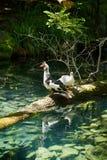 Pájaros pato y ganso en la granja imagen de archivo