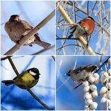 Pájaros piñonero, tit, gorrión, waxwing de cedro Foto de archivo