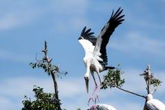 Pájaros pintados de la cigüeña hermosos de mosca en criaturas exóticas del cielo Imágenes de archivo libres de regalías