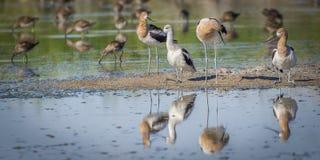 Pájaros que alimentan en agua Imágenes de archivo libres de regalías
