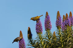 Pájaros que alimentan en el néctar de la flor Fotografía de archivo