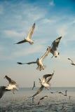 Pájaros que arrebatan la comida en cielo Fotos de archivo libres de regalías