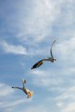 Pájaros que arrebatan la comida en cielo Imágenes de archivo libres de regalías