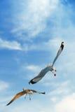 Pájaros que arrebatan la comida en cielo Foto de archivo