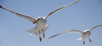 Pájaros que buscan en vuelo la comida Fotos de archivo libres de regalías