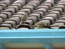 Pájaros que caminan en el ¡de Sabià del tejado de la casa Foto de archivo