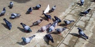 Pájaros que comen el arroz Fotografía de archivo