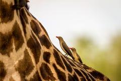 Pájaros que descansan sobre una jirafa en el parque nacional del sur de Luangwa Fotos de archivo libres de regalías