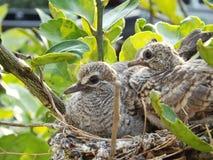 Pájaros que esperan a padres Foto de archivo libre de regalías
