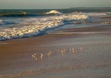 Pájaros que forrajean en la luz del sol de la mañana, RJ el Brasil foto de archivo