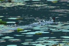 Pájaros que juegan en el agua Fotografía de archivo libre de regalías