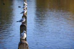Pájaros que ocupan una fila de polos en un lago situado en el parque de la ciudad Foto de archivo