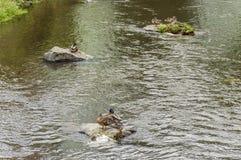 Pájaros que se colocan en las rocas que flotan en agua Imagenes de archivo