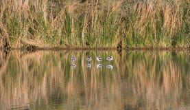 Pájaros que se colocan en una charca que echa una reflexión imágenes de archivo libres de regalías
