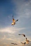 Pájaros que se deslizan en la puesta del sol Fotos de archivo