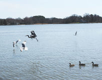 Pájaros que toman vuelo Fotos de archivo libres de regalías
