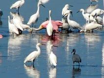 Pájaros que vadean Fotografía de archivo libre de regalías