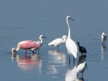 Pájaros que vadean en el agua Foto de archivo libre de regalías