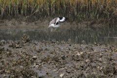 Pájaros que vuelan en Charleston South Carolina sobre el banco de ostra con el fondo del pantano foto de archivo