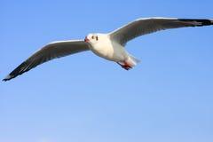 Pájaros que vuelan en cielo azul Imagen de archivo