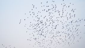 PÁJAROS que vuelan en el cielo Imágenes de archivo libres de regalías