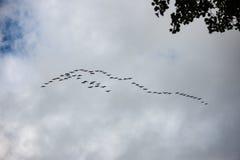 Pájaros que vuelan en la formación Imagenes de archivo